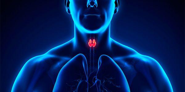 Glândula da tireoide Foto: Pixabay